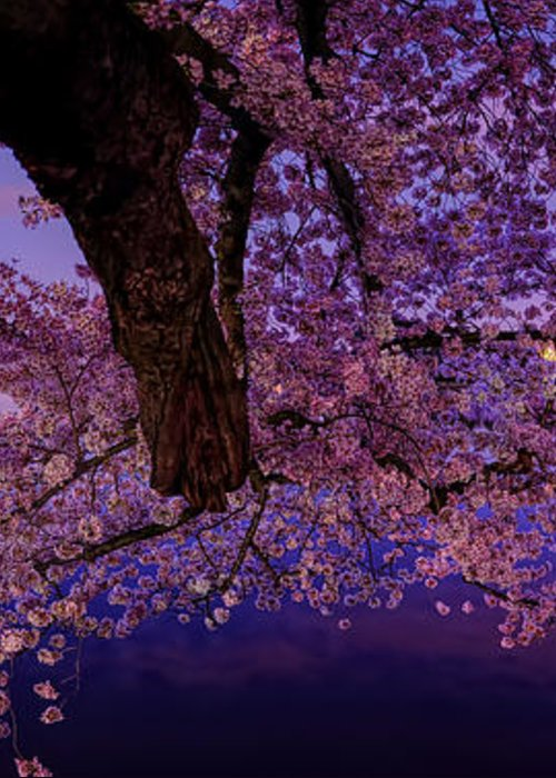 Dc Greeting Card featuring the photograph Night Blossoms by Metro DC Photography