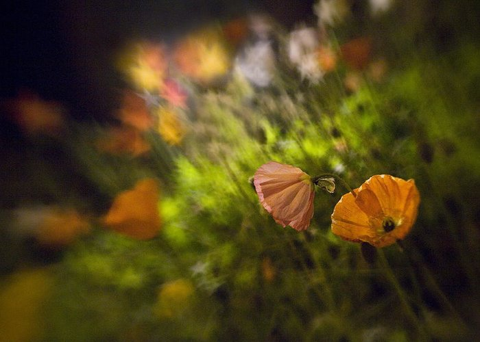 Poppies Greeting Card featuring the photograph Night Poppies by Lisa Cowley