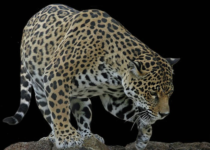 Jaguar Greeting Card featuring the photograph Night Prowler 2 by Larry Linton