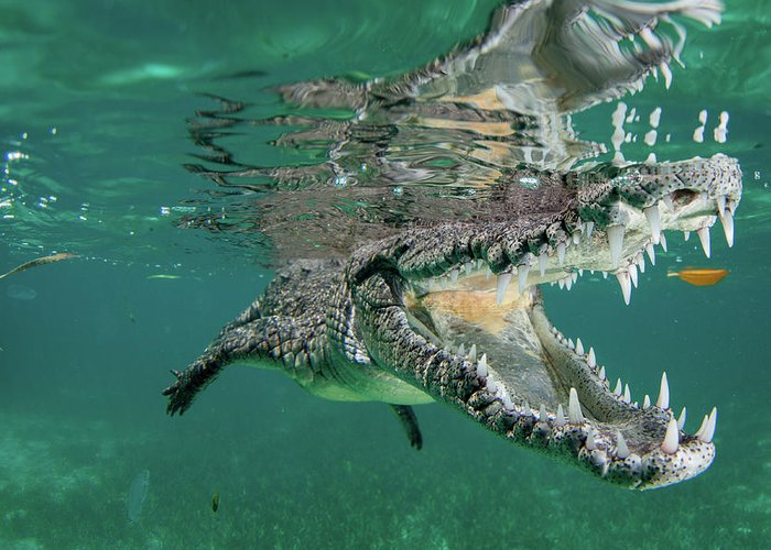 Crocodile Greeting Cards