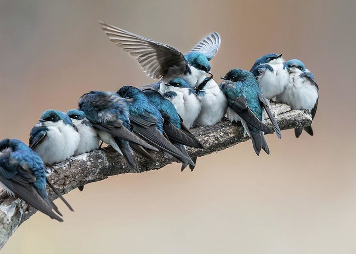 Swallow Greeting Cards