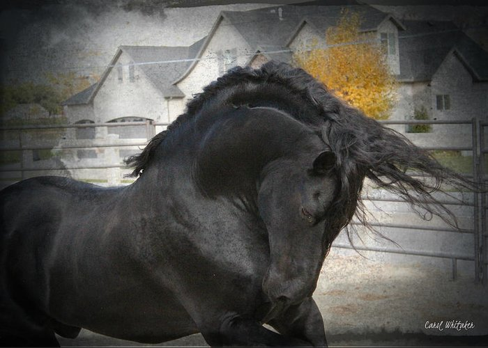 Friesian Stallion Canvas Print Greeting Card featuring the photograph Nobility by Royal Grove Fine Art