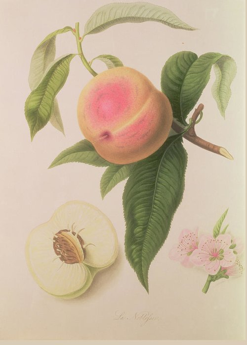 Peach Drawings Greeting Cards