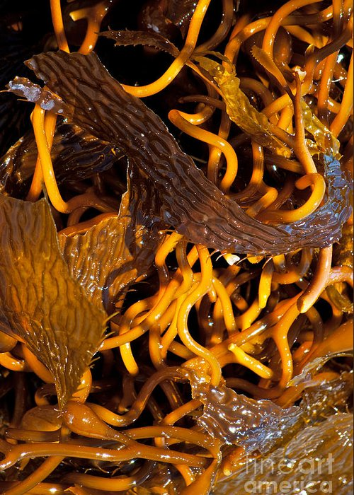 Seaweed Greeting Card featuring the photograph Noodles Of The Sea by Gwyn Newcombe