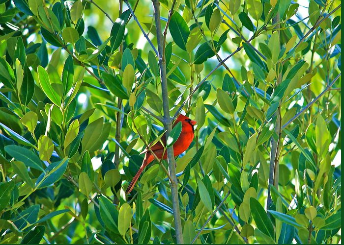 Northern Cardinal Greeting Card featuring the photograph Northern Cardinal Hiding Among Green Leaves by Cyril Maza