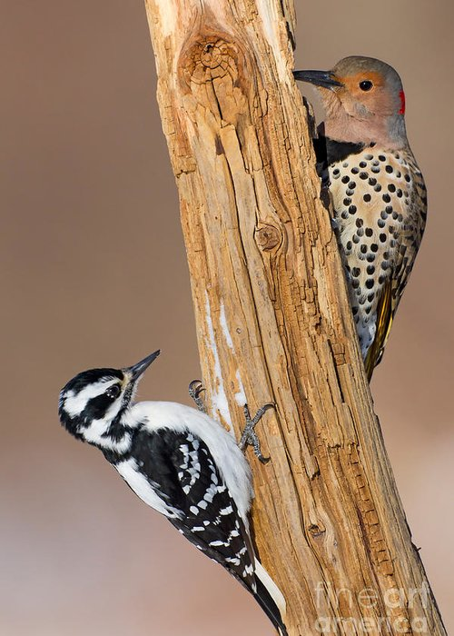 Northern Flicker Greeting Card featuring the photograph Northern Flicker And Hairy Woodpecker by Jim Zipp