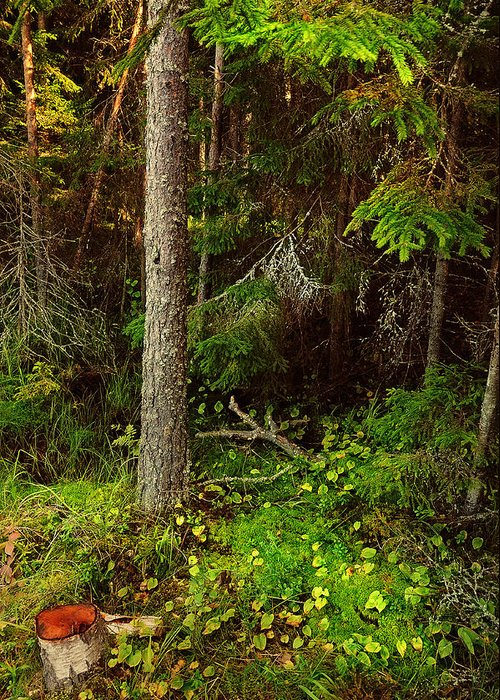 Nature Greeting Card featuring the photograph Northern Forest 1 by Jenny Rainbow