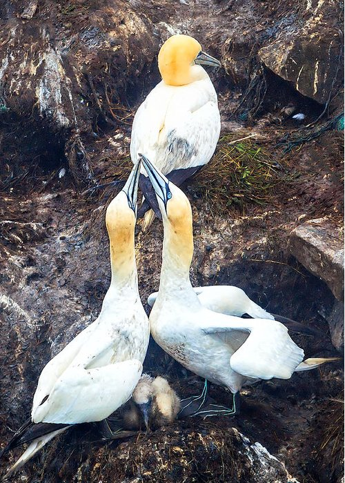 Northern Gannet Greeting Card featuring the photograph Northern Gannet by Perla Copernik