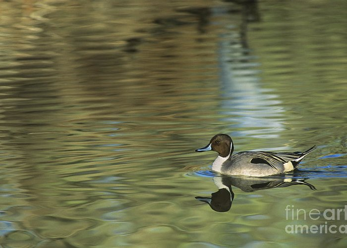 North America Greeting Card featuring the photograph Northern Pintail In A Quiet Pond California Wildlife by Dave Welling