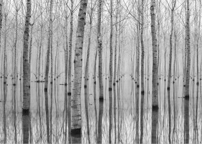 White Birch Trees Greeting Cards