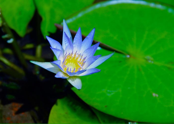 Water Lily Greeting Card featuring the photograph Nymphae Caerulea by Deanne Rotta