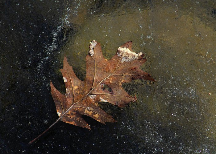 Oak Leaf Greeting Card featuring the photograph Oak Leaf On Ice by Jim Vance
