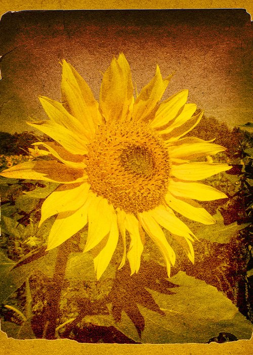 Flower Greeting Card featuring the photograph Of Sunflowers Past by Bob Orsillo