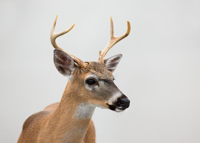 Canon 500mm F/4.0l Greeting Card featuring the photograph Oh Deer by Hali Sowle