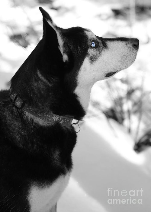 Dog Greeting Card featuring the photograph Old Blue Eye by Carol Groenen