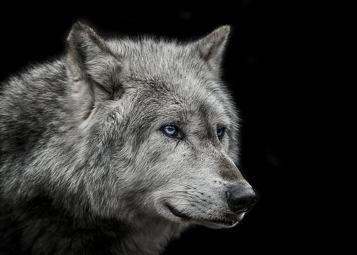 Wolves Photographs Greeting Cards