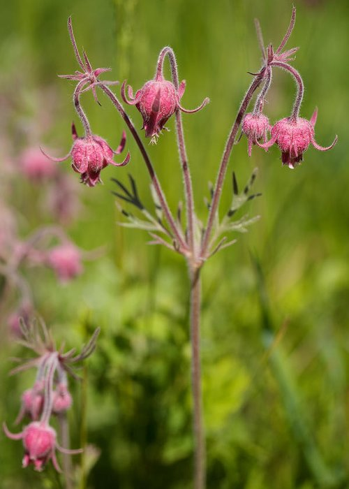 Old Man's Whiskers Greeting Card featuring the photograph Old Man's Whiskers Wildflower by Kent Becker