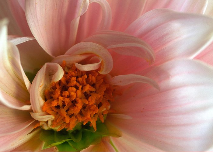 Floral Greeting Card featuring the photograph On Being A Dahlia by Kathy Yates