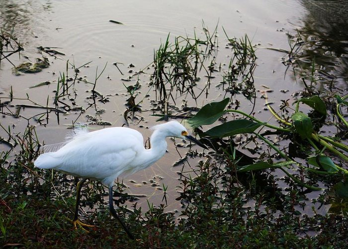 Egret Greeting Card featuring the photograph On The Hunt by Chuck Hicks