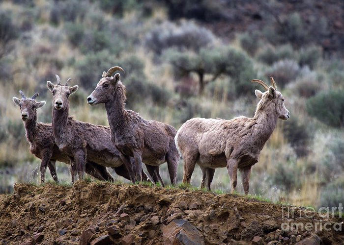 Bighorn Greeting Card featuring the photograph On The Ledge by Mike Dawson