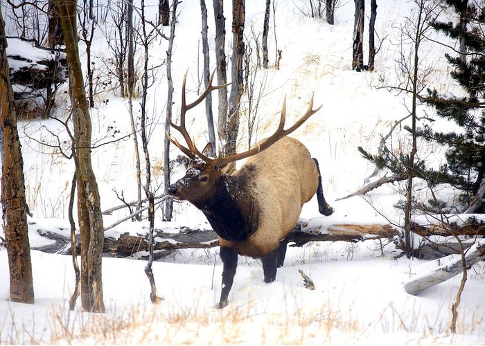 Elk Greeting Card featuring the photograph On the Move by Mike Dawson
