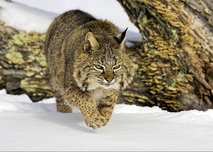 Bobcat Greeting Card featuring the photograph On The Prowl by Jack Milchanowski