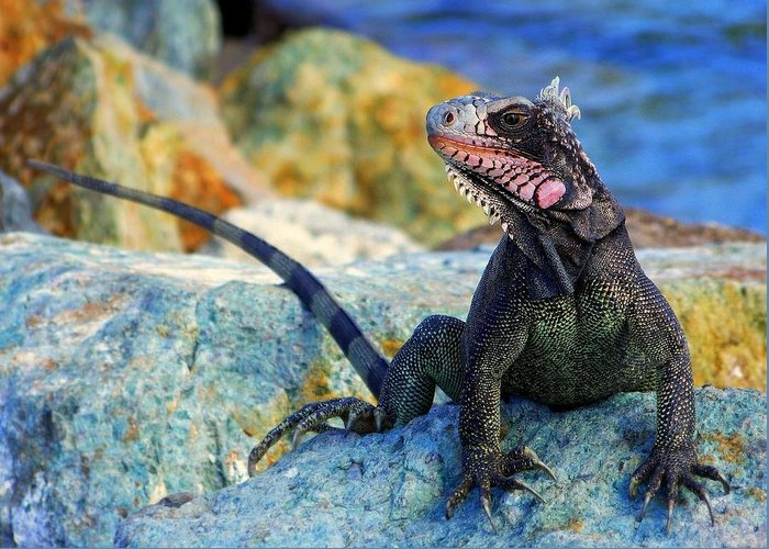 Iguana Greeting Card featuring the photograph On The Prowl by Karen Wiles