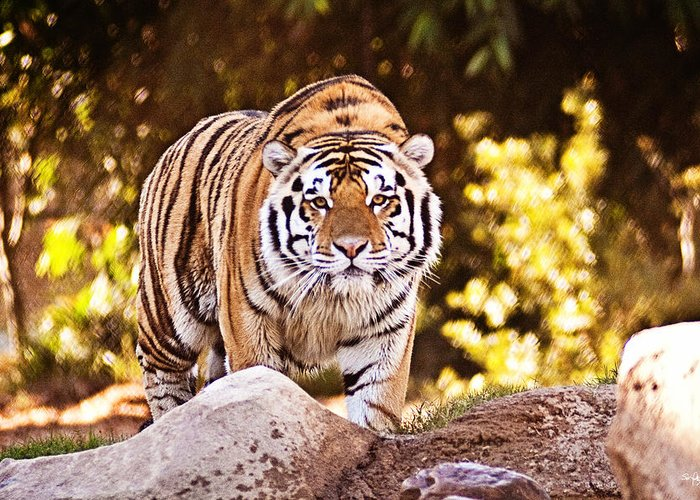 Tiger Greeting Card featuring the photograph On The Prowl by Scott Pellegrin
