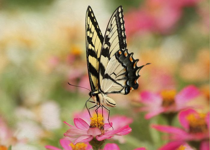 Tiger Swallowtail Butterfly Greeting Card featuring the photograph On The Top - Swallowtail Butterfly by Kim Hojnacki