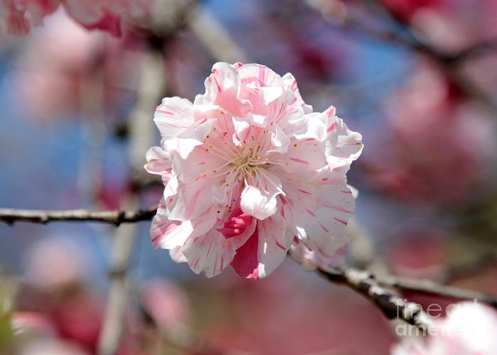 Spring Greeting Card featuring the photograph One Pink Blossom by Carol Groenen