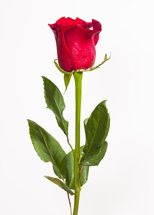 3scape Photos Greeting Card featuring the photograph One Red Rose by Adam Romanowicz