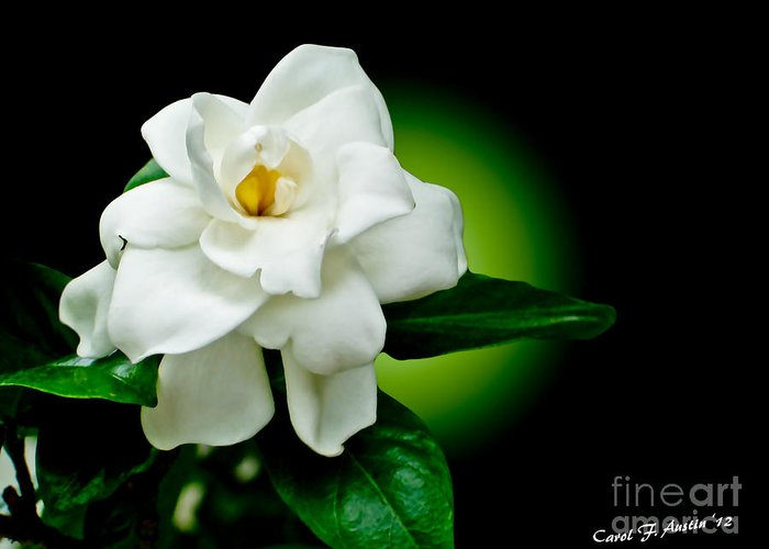Jasmine Greeting Card featuring the photograph One Sensual White Flower by Carol F Austin