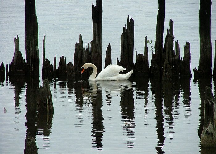 Pond Greeting Card featuring the photograph One Swan by Dennis Pintoski