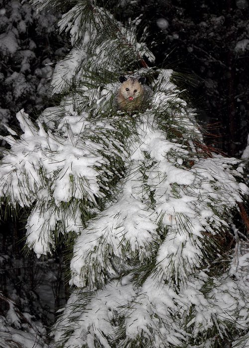 Oppssum Greeting Card featuring the photograph Opossum In The Pines by Michael Eingle