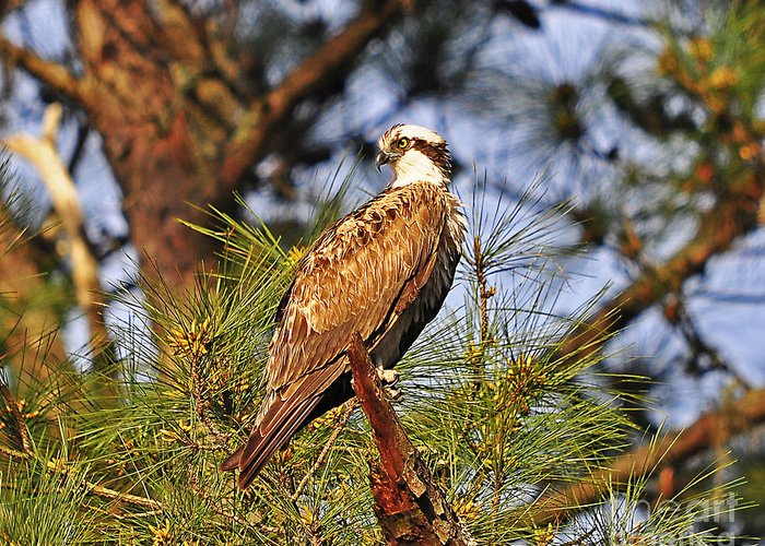 Osprey Greeting Card featuring the photograph Opulent Osprey by Al Powell Photography USA
