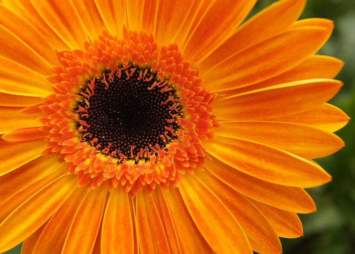 Orange Greeting Card featuring the photograph Orange Gerbera by Deana Rae