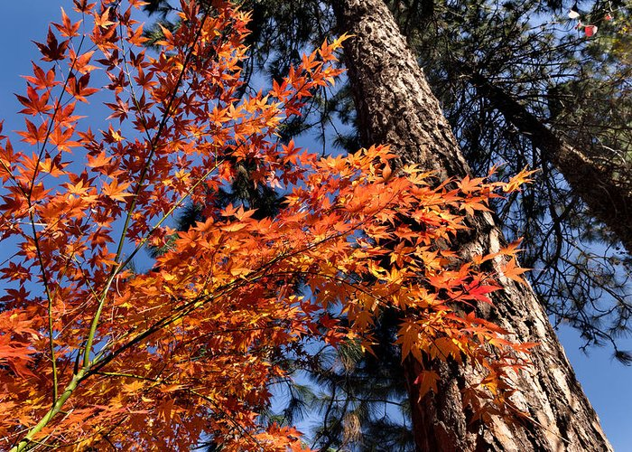 Fall Greeting Card featuring the photograph Orange Maple by Kathleen Bishop