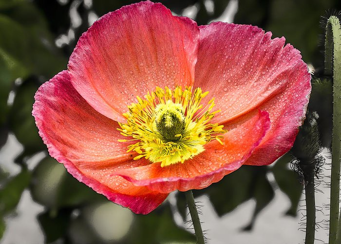 Poppy Greeting Card featuring the digital art Orange Poppy by Photographic Art by Russel Ray Photos