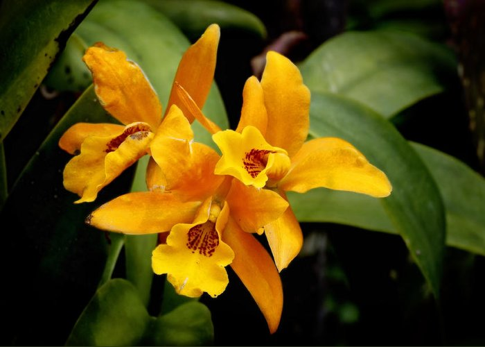 Background Greeting Card featuring the photograph Orange Spotted Lip Cattleya Orchid by Rudy Umans