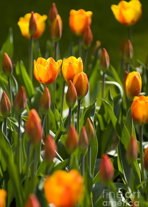 Flowers Greeting Card featuring the photograph Orange Tulips by David Lichtneker