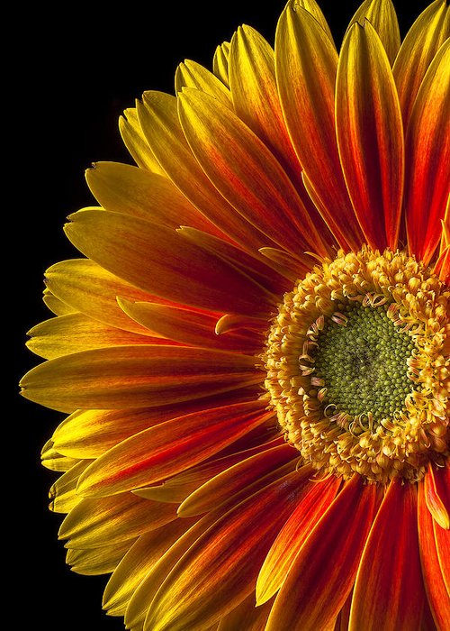 Gerbera Greeting Card featuring the photograph Orange Yellow Mum Close Up by Garry Gay