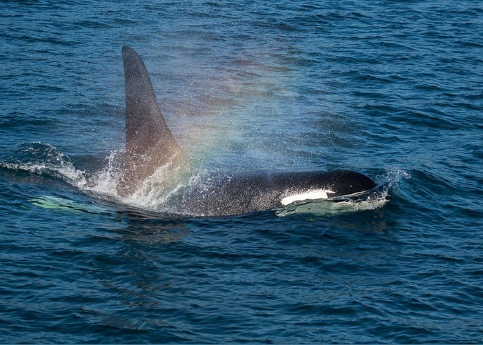 Orca Greeting Card featuring the photograph Orca Whale Surfacing by Puget Exposure
