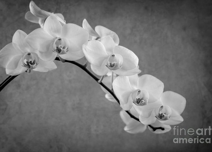 Asia Greeting Card featuring the photograph Orchid Bw by Hannes Cmarits