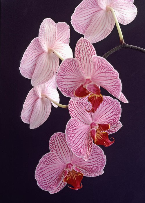 Orchid Greeting Card featuring the photograph Orchid Cascade by Bill Morgenstern