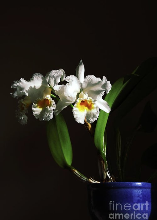 Orchid Greeting Card featuring the photograph Orchid Cattleya Bow Bells by Charline Xia