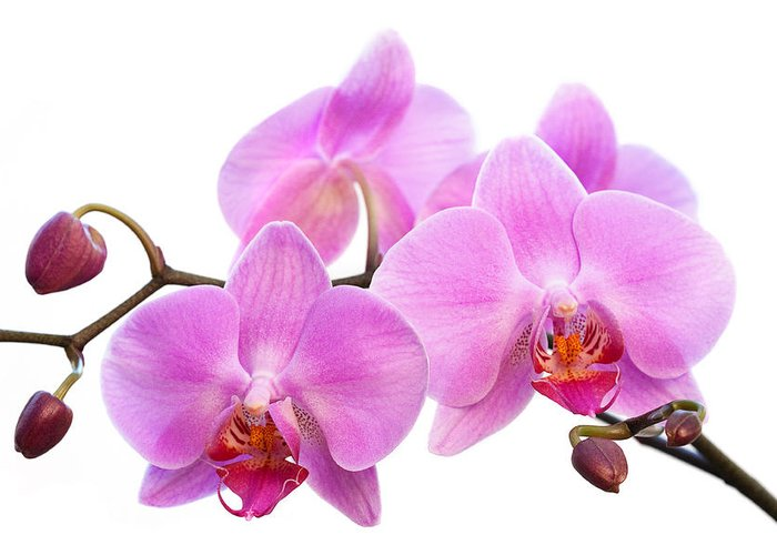 Blooms Greeting Card featuring the photograph Orchid Flowers II - Pink by Natalie Kinnear
