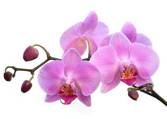 Blooms Greeting Card featuring the photograph Orchid Flowers - Pink by Natalie Kinnear