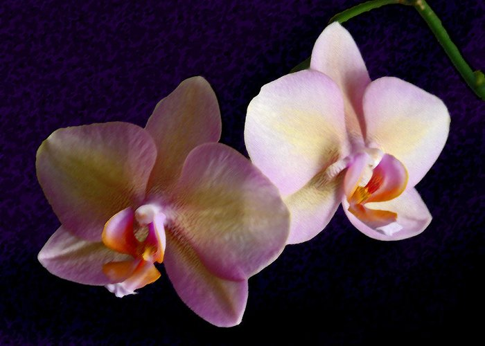 Orchid Greeting Card featuring the photograph Orchid Light by Steve Karol
