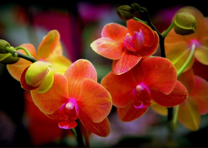 Orchids Greeting Card featuring the photograph Orchid Melody by Karen Wiles