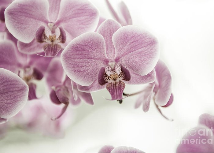 Asia Greeting Card featuring the photograph Orchid Pink Vintage by Hannes Cmarits